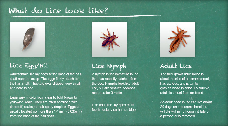 What Lice Look LIke