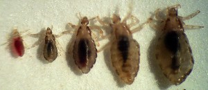Lice at different stages of life.